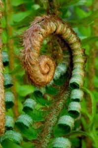 cutting-back-sword-ferns-at-walts-organi