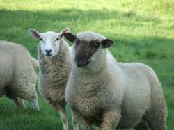New Zealand Suffolk lamb