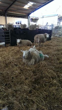 lleyn & lambs