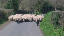 Driving the sheep