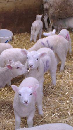 Lleyn Lambs