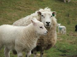 Lleyn ewe and lamb