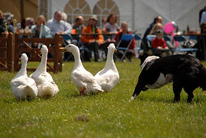 Duck herding, Sheepdog, Dog, Border Collie, Country shows, entertainment