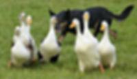 Kelpie Joe duck herding, dog, Sheepdog Show