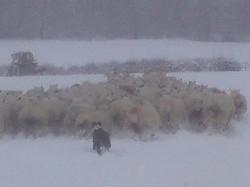 Sheepdog working in snow