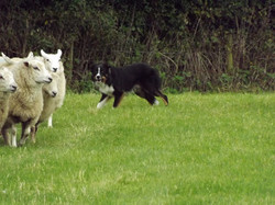 Ace on sheep