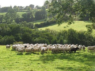 Sheepdog herding sheep, Blackdown Hills, Lleyn, Sheepdog Show,