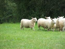 Lleyn ewe lambs