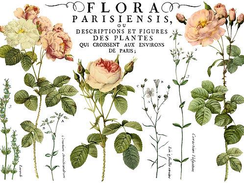 "Flora Parisiensis, 24"" x 33"""