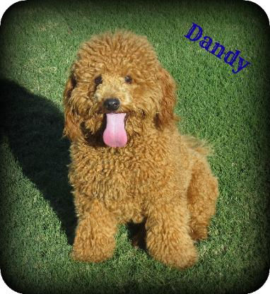 Dandy-382x416.jpg