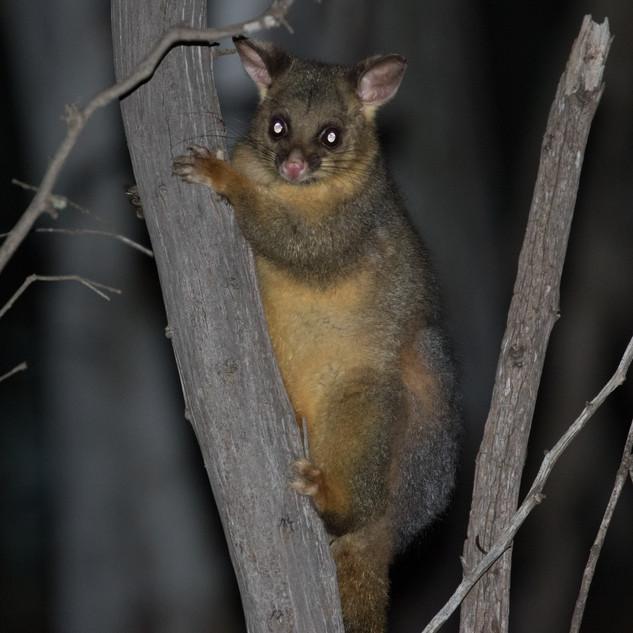 Brush-tailed Possum