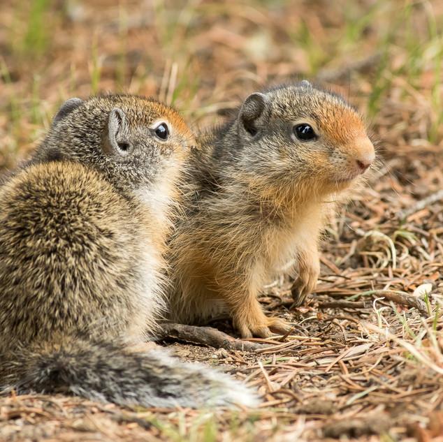 Columbia Ground Squirrels