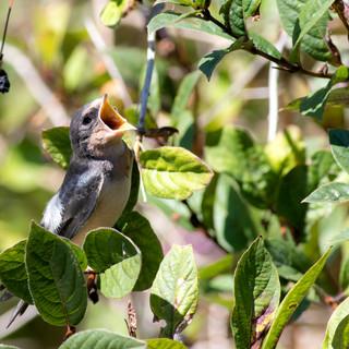 Barn Swallow fledgling