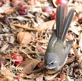 Norfolk Island Gray Fantail