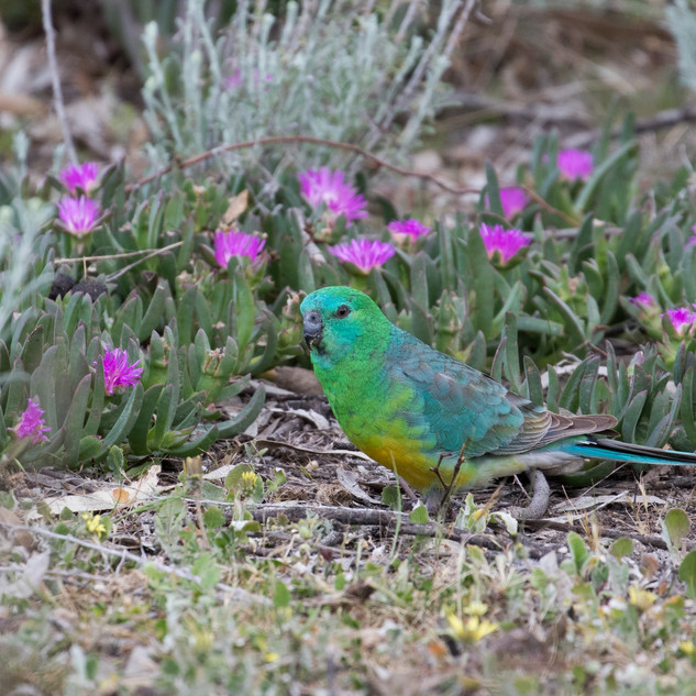 Red-rumped Parrot