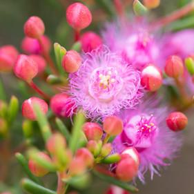 Pink Woolly (Verticordia monadelpha)