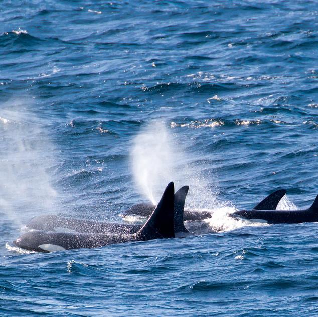 I18 Group Killer Whales
