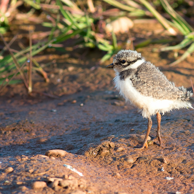 Semipalmated Plover chick