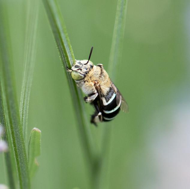 Blue-banded Bee (Amegilla sp.)