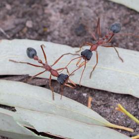 Bull Ants (Myrmecia sp.)