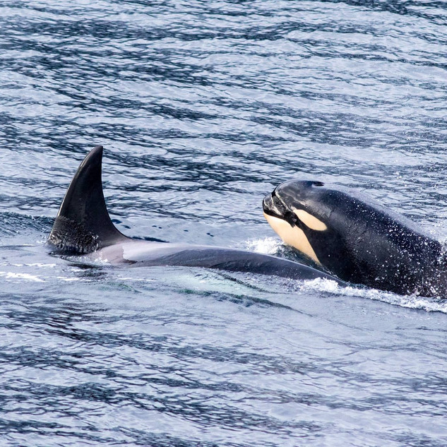 Killerwhale and youngster