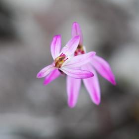 Caledenia sp.