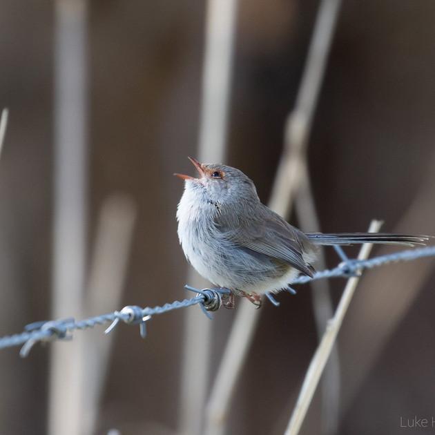 Landbirds
