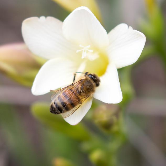 Bee on Fresia sp.