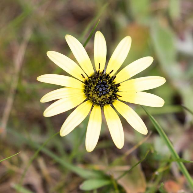 Cape Daisy (invasive)