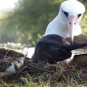 Laysan Albatross & Ruddy Turnstone
