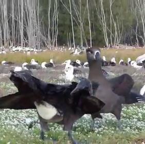 Black-footed Albatross courtship