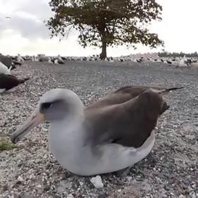 Laysan x Black-footed Albatross hybrid