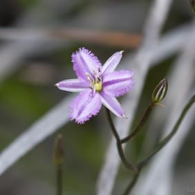 Twining Fringe Lily (Thysanotus patersonii)