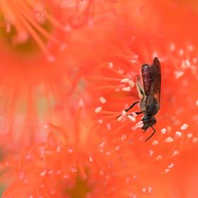 native bee on Corymbia ficifolia