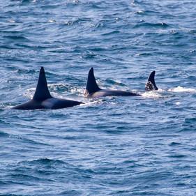 Killer Whales (I18 Group)