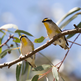 Striated Pardalotes