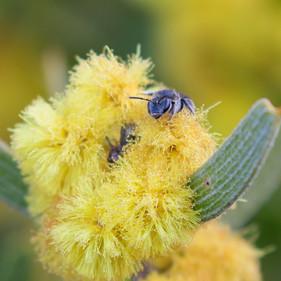 Bee on Wooly Wattle (Acacia lanigera)