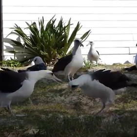 Laysan Albatross courtship