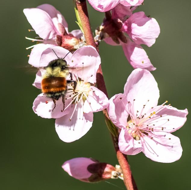 Tricolored Bumblebee & Peach Blossom