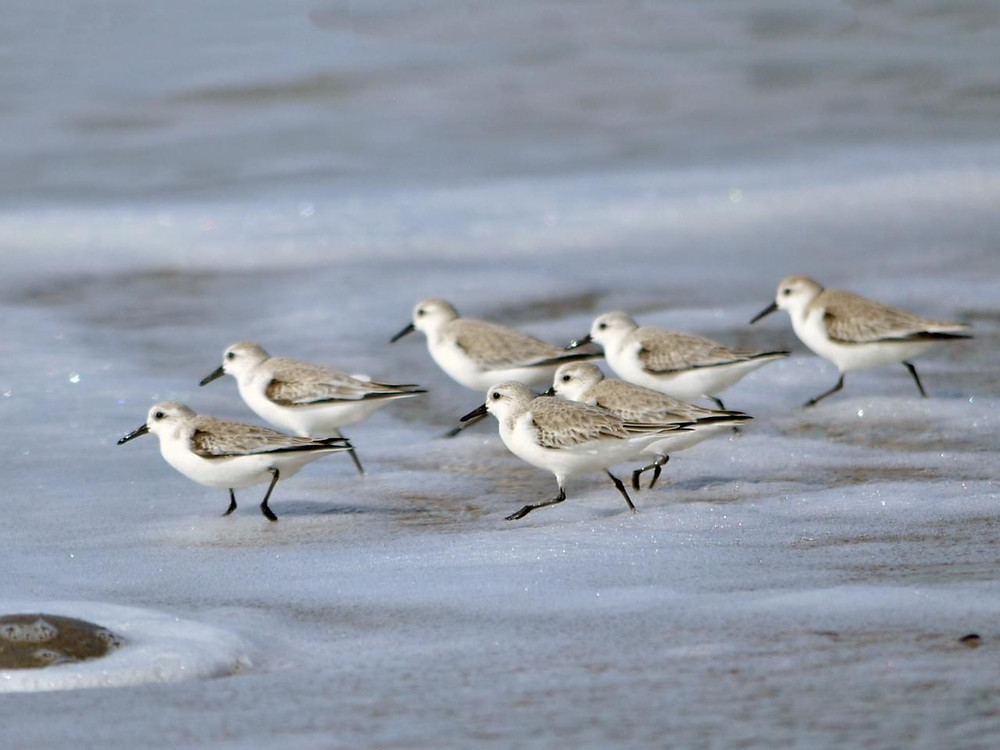 Birds of a feather flock together chasing waves and feeding.