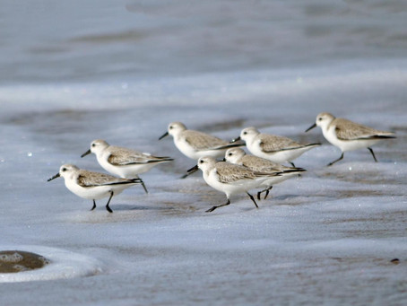Our Property Becomes a Refuge for Sandpipers Impacted by Red Tide