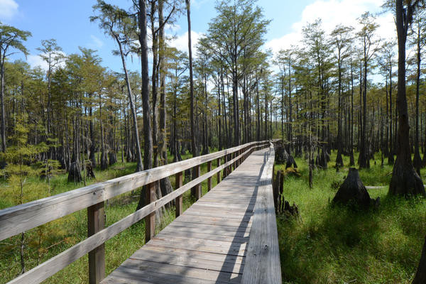 Boardwalk through cypress swamp area.