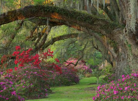 Magnolia Plantation & Gardens: Camellia Walk & Lights of Magnolia