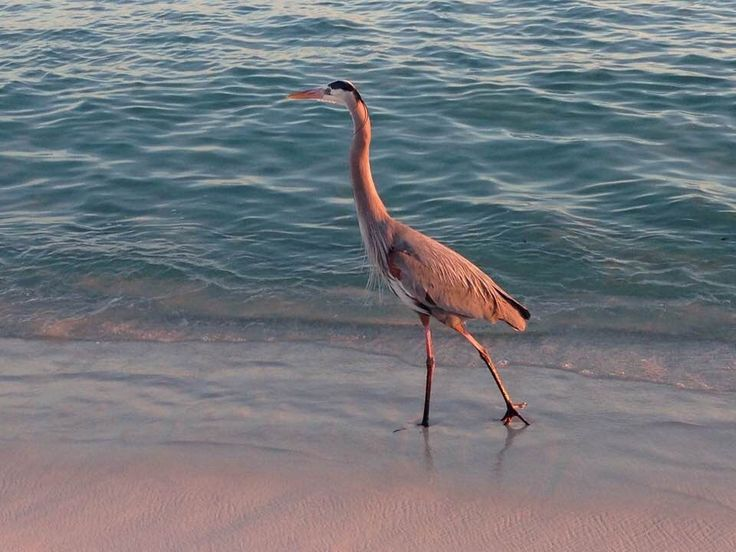 We typically have a resident Blue Heron that likes to stroll our beach and dock at sunrise and sunset.