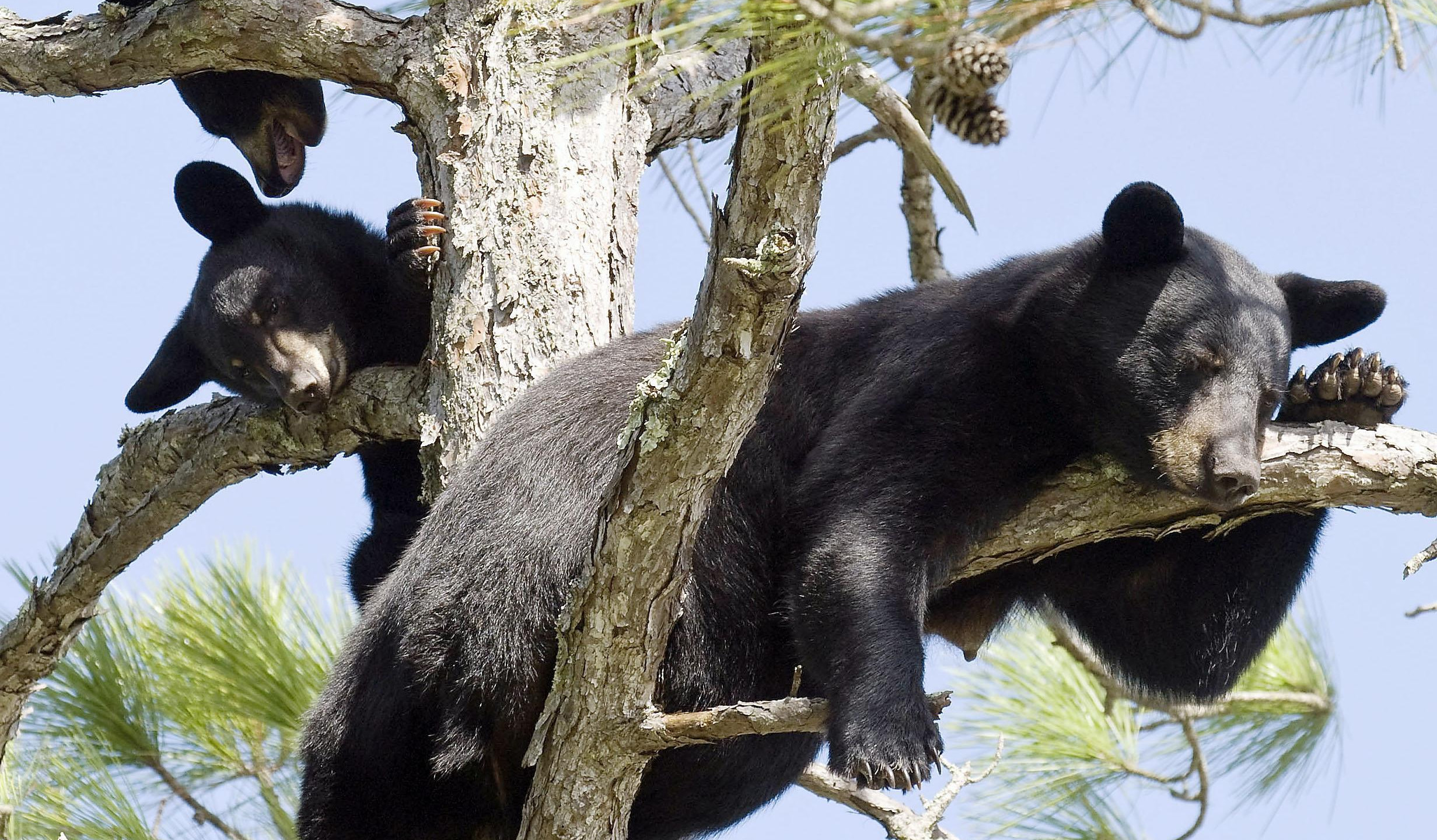 It is rare, but black bear can sometimes be found along the Santa Rosa Sound.