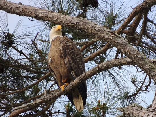 If you take kayaks out, look in the pine trees where eagles can be easily spotted perching  looking for food.
