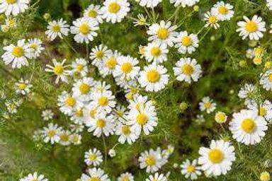 Herbs - Chamomile (German) Plant Seedling