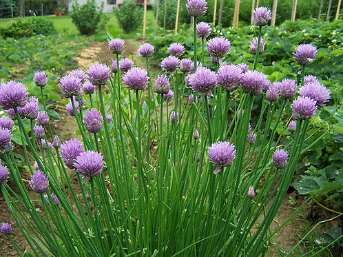 Herbs - Chives Seedling
