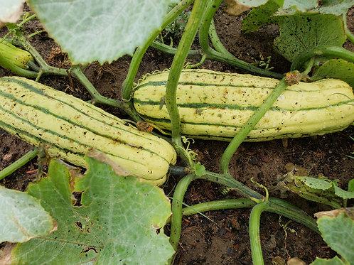Winter Squash - Delicatta Squash Seedling