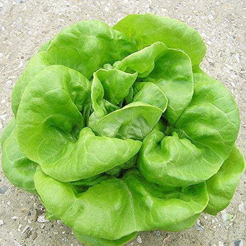 Lettuce - Buttercrunch Head Lettuce Seedling - Pack of 4